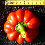 トマトパプリカと言う最新の珍品種を育てた、味はホントに甘いの?