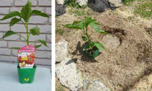 トマトパプリカ植え付け