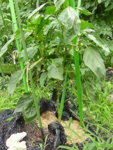トマトパプリカ 栽培