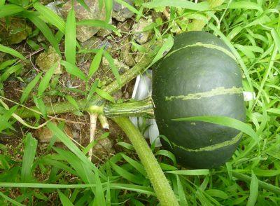金味 かぼちゃ栽培