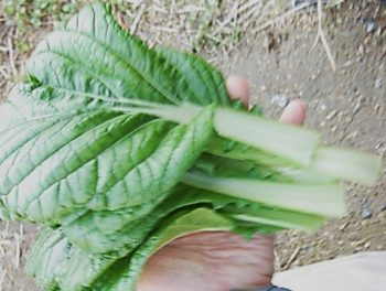 ビタミン菜 栽培して食べた感想