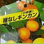 金柑ぷちまるの育て方と、丸ごと食べると味は濃くて舌に残った感想(画像付き)