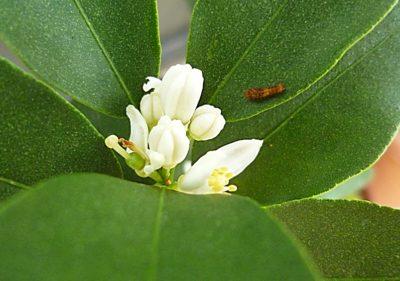 金柑ぷちまる のアゲハ蝶の幼虫