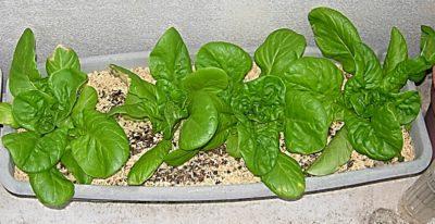 サラダ菜栽培をプランターで種まきから育てた感想