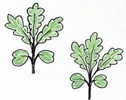 【おでん用大根】種まきから育て収穫した栽培記録 柔らかく味が染み込んでる